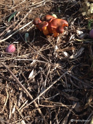 Funghi spontanei sotto gli ulivi